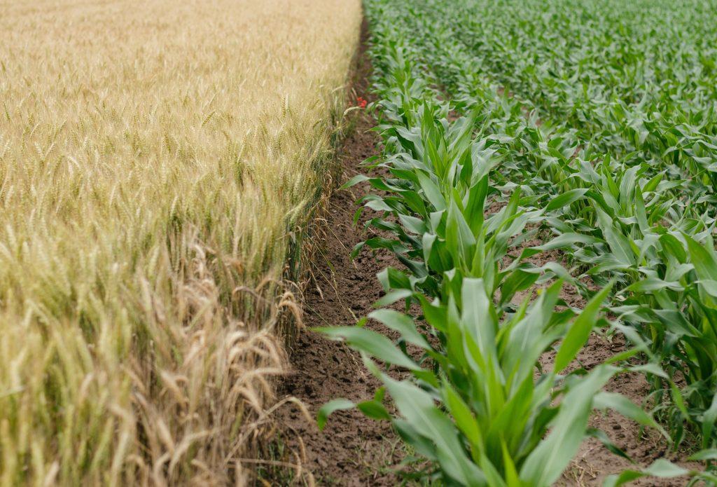 grain field next to corn field